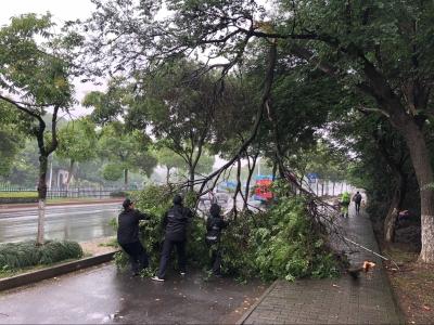 强转树:树枝折断阻交通,荣巷城管急清理